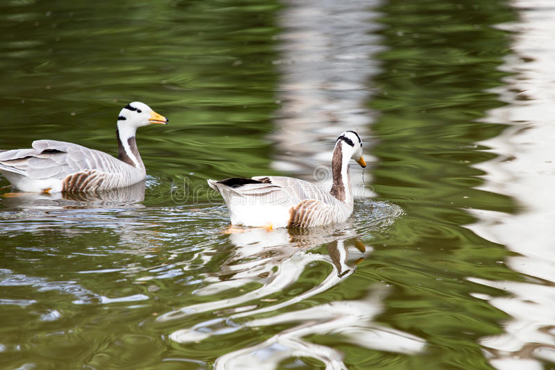 Ducks on the pond in the park.  stock photos