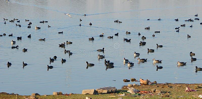 Ducks at Randarda Lake stock images