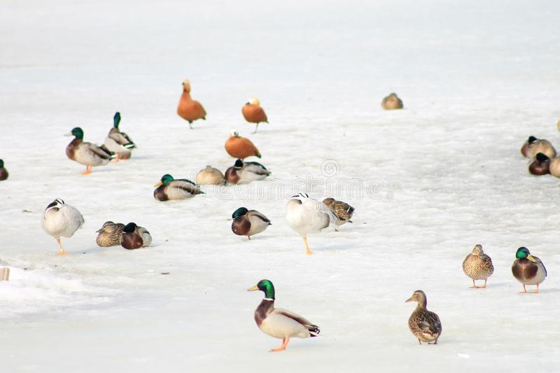 Ducks, or rather anas, on snow background stock photography