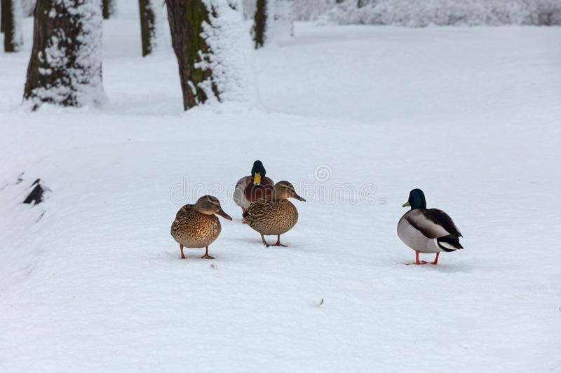 Ducks on the snow in a park stock images