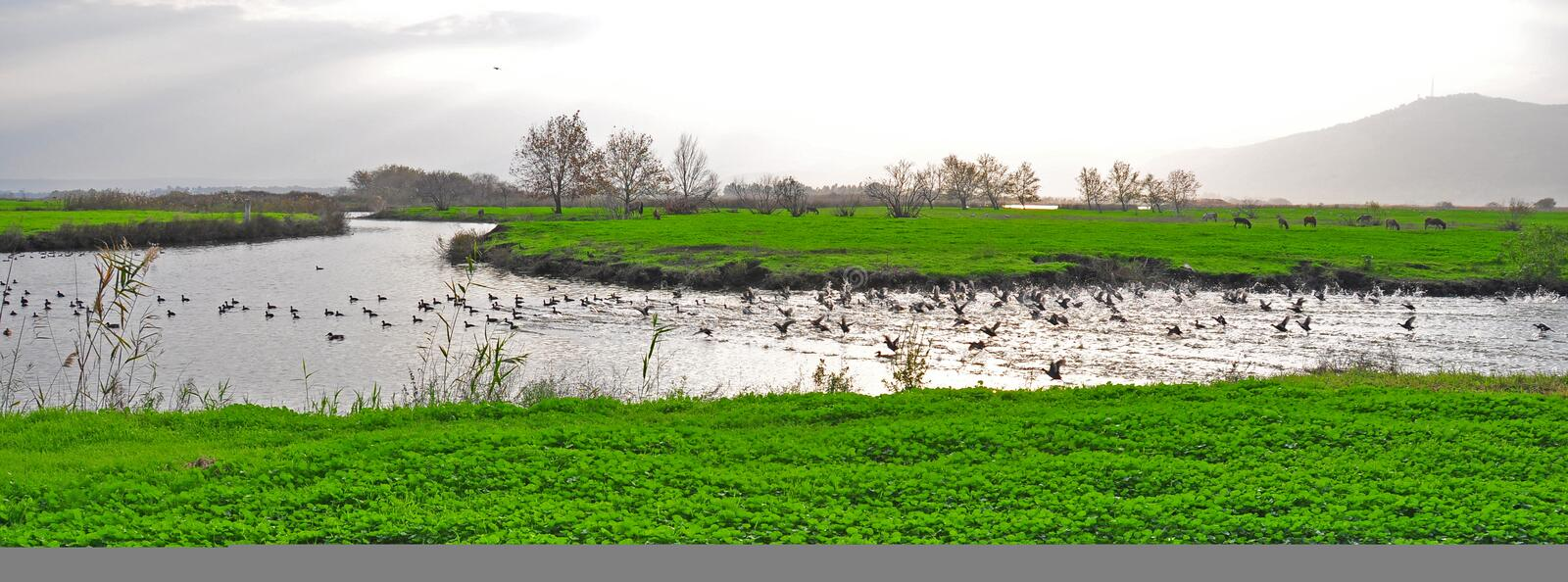 Ducks in a river, Ahula, Israel stock photography