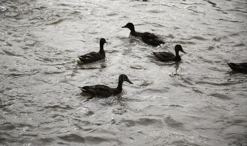 Ducks in river stock photography