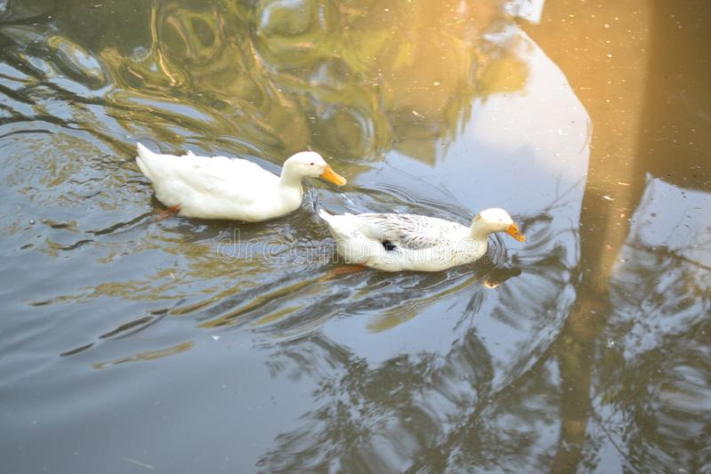 Ducks in river stock images