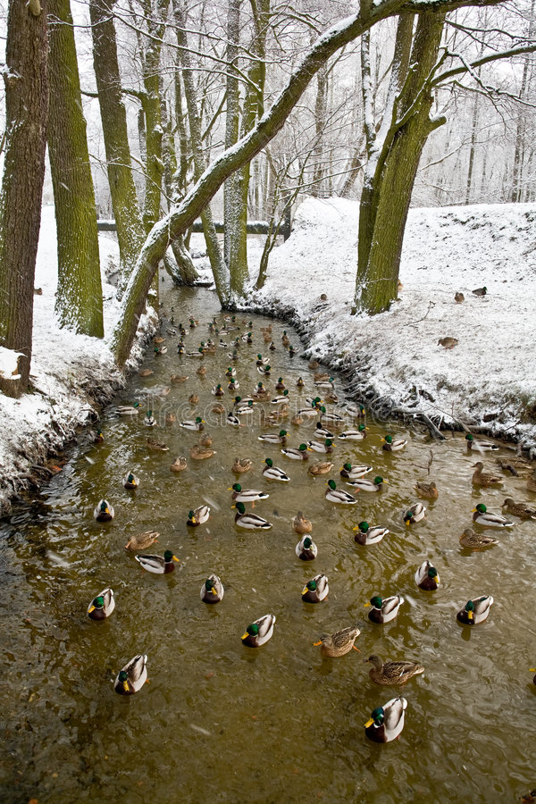 Ducks on the river in winter stock photos