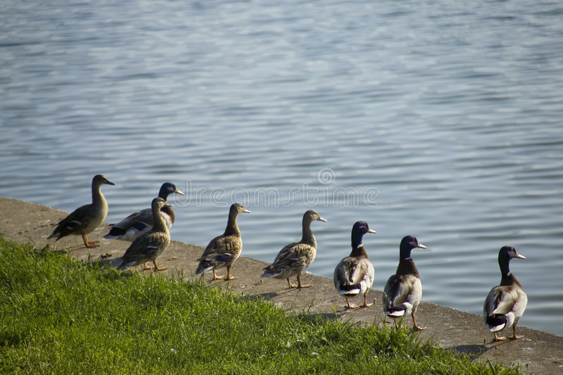 Download Ducks In Row Looking Across Lake Royalty Free Stock Photos - Image: 1543418