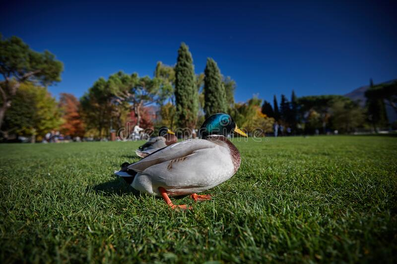 Ducks sit under the sun on green grass stock images