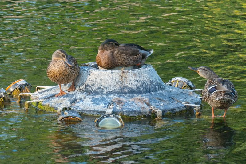 Ducks sitting on the stones in the middle of the pond, hiding its beak under the wing and trying to rouse them, their royalty free stock photos