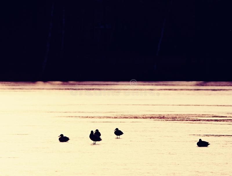Ducks at small unfrozen part of lake, evening sun. Evening sun mirroring in frozen lake. Ducks at small unfrozen part of the lake. Mount Baker in the background royalty free stock image