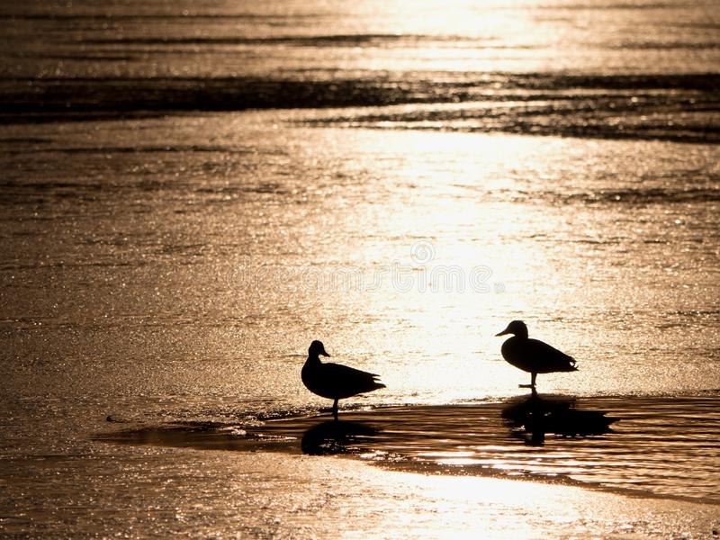 Ducks at  small unfrozen part of lake, evening sun. Evening sun mirroring in frozen lake. Ducks at  small unfrozen part of the lake. Mount Baker in the stock photography
