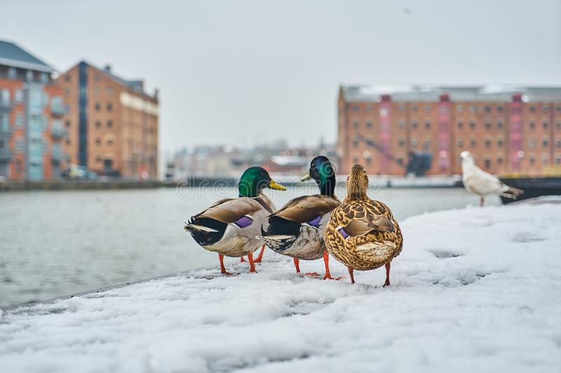 Ducks in the snow royalty free stock photos