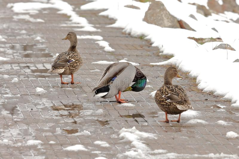 Ducks on the snowy pavement. Ducks are mostly aquatic birds, mostly smaller than the swans and geese, and may be found in both fresh water and sea water stock photos
