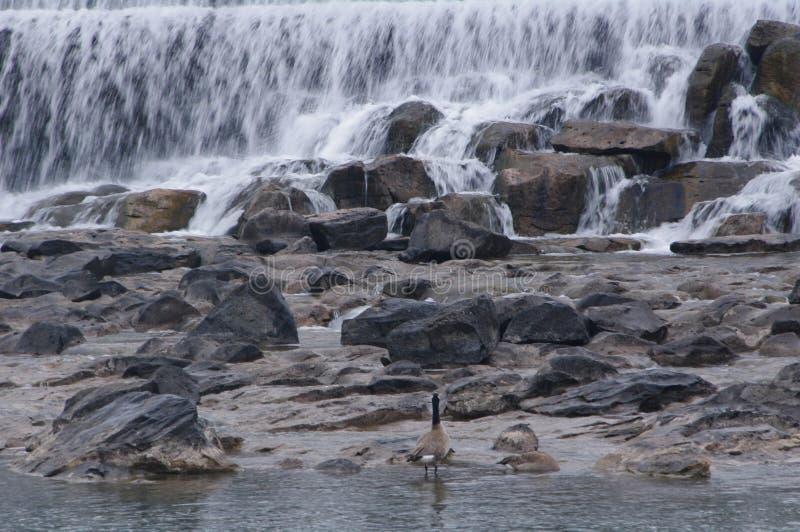 Ducks on banks of Idaho Falls. Ducks standing on rocky shores of Idaho Falls, Idaho royalty free stock photo