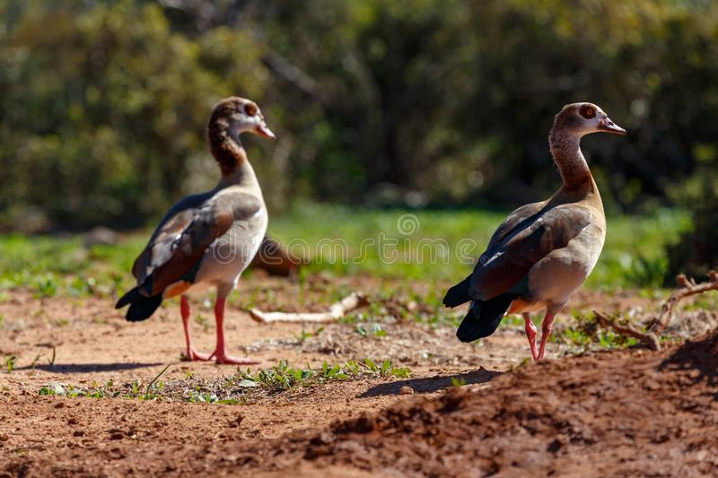 Ducks standing in the sand royalty free stock photos