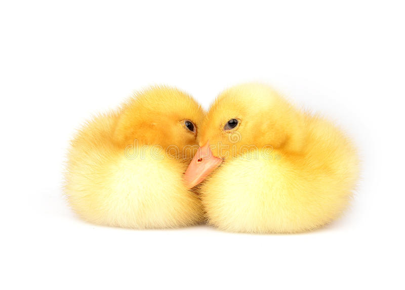 Ducks stay on a white. Background royalty free stock images