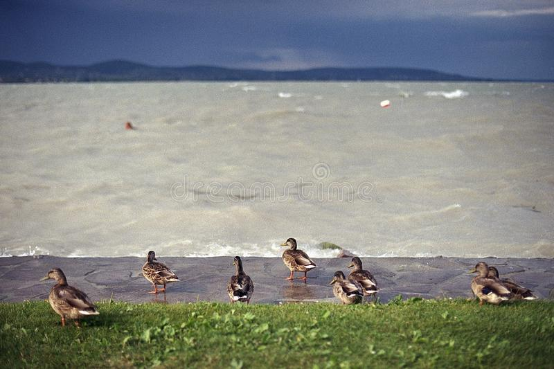 Ducks at the stromy Balaton royalty free stock photo