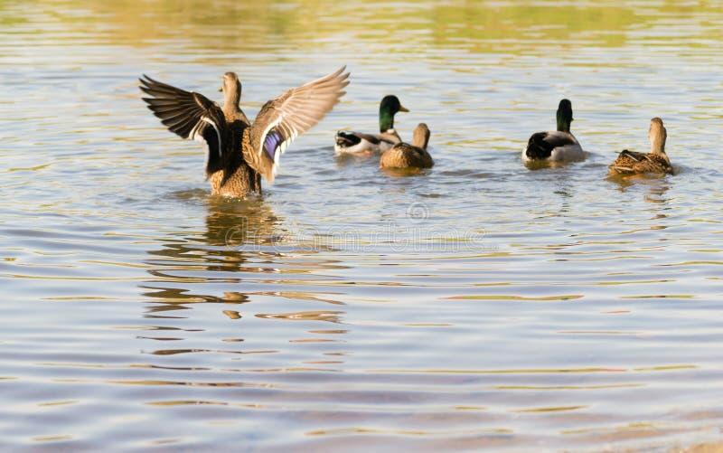 Ducks. Summer activities on the lake stock image