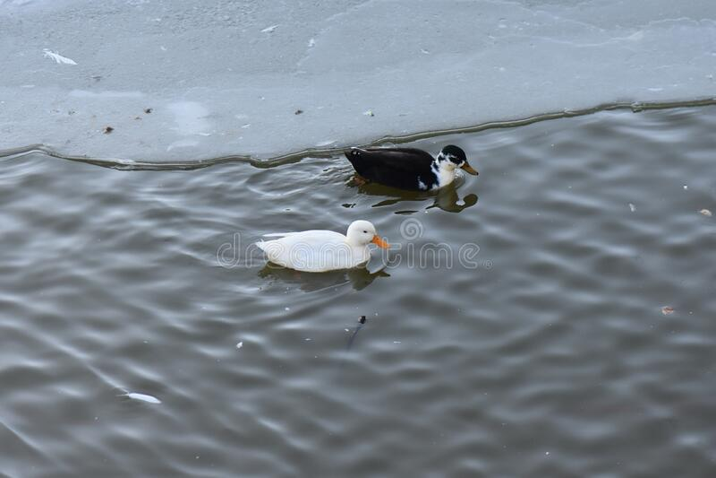Ducks in sunny winter day in the lake. Ducks in sunny winter day. Frozen water in the lake stock images