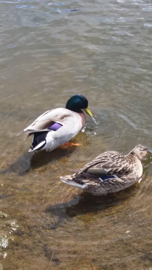 Ducks on swan lake stock image
