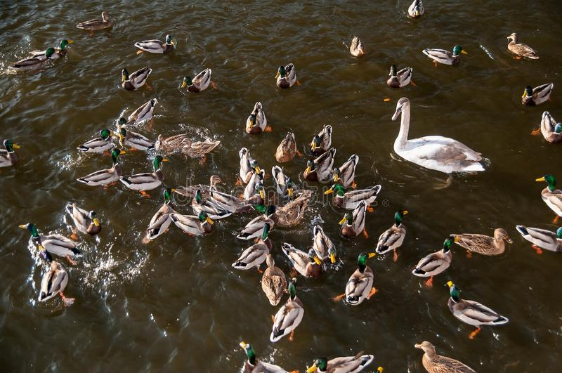 Download Ducks and swans stock image. Image of flock, water, swan - 28851721