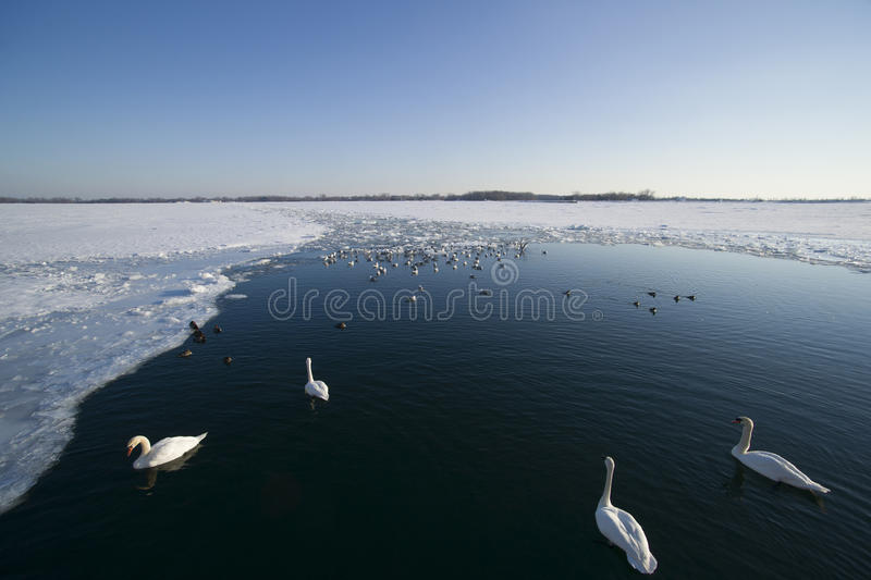 Ducks & Swans in half frozen lake stock photo