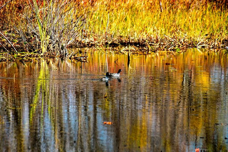 Ducks swim amongst Fall colors that are reflected in a pond in Indiana. Autumn stuns and ducks admire its painted colors as they show off their reflection in a stock photos
