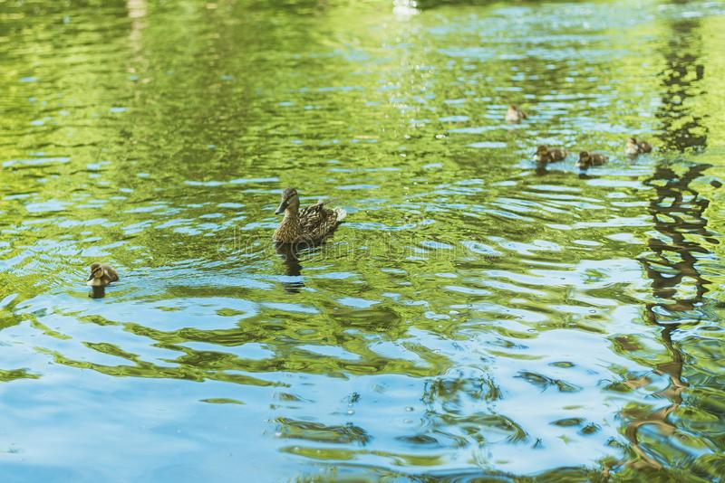 Ducks swim in the lake. mother duck and her little cubs ducklings swim in the park. Ducks swim in the lake. mother duck and her little cubs ducklings swim in royalty free stock photography