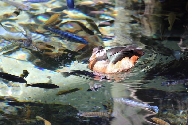 Ducks swimming in the pond royalty free stock photography