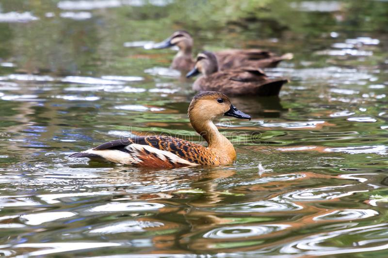 Ducks swimming in pond floating on surface of water stock photo
