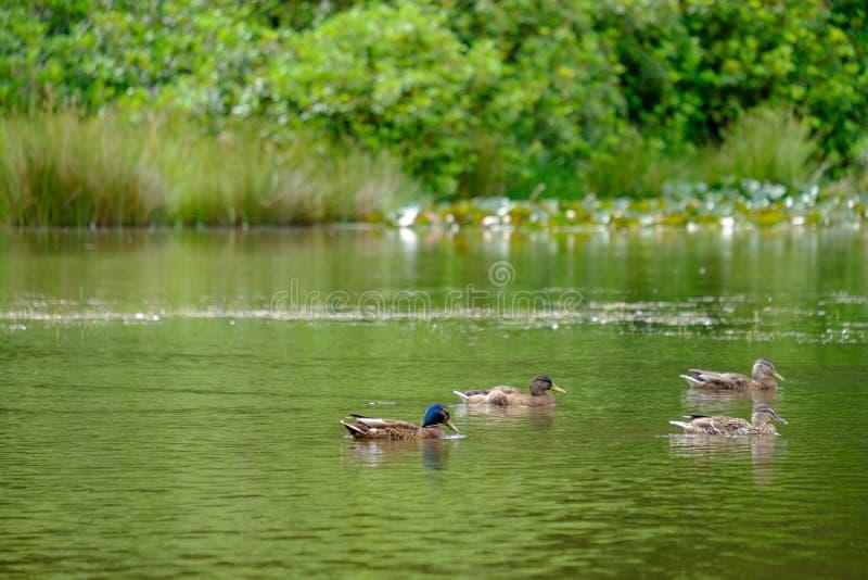 Ducks swimming in a pond in Lyme Park, Cheshire, United Kingdom. Beautiful scene of ducks swimming in a pond in Lyme Park, Cheshire, United Kingdom stock photo