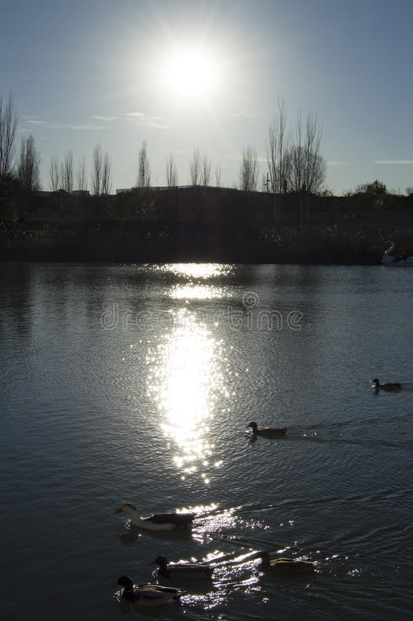 Ducks swimming in a reflected sun royalty free stock images
