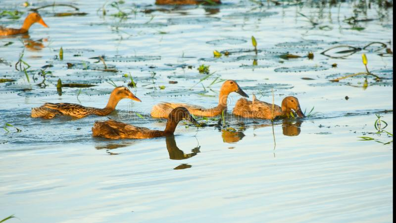 The ducks swimming in the river . stock photos