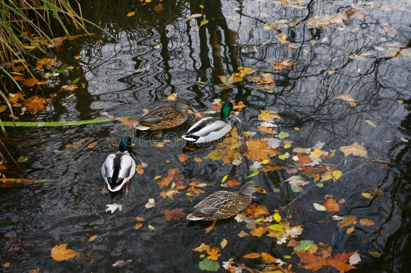 Ducks swimming in a river of Germany royalty free stock images