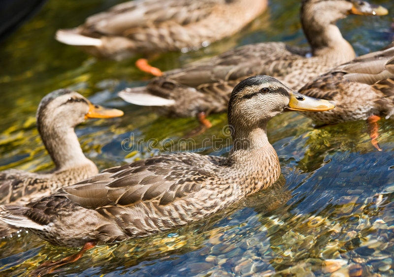 Download Ducks Swimming In Stream Stock Images - Image: 7378624