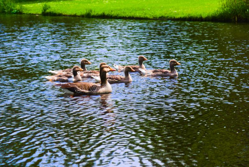 Ducks in the vondelpark swimming in the canal royalty free stock photography