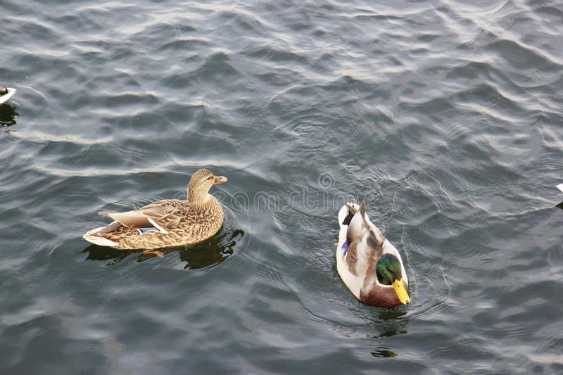 Ducks swimming in the water royalty free stock photos