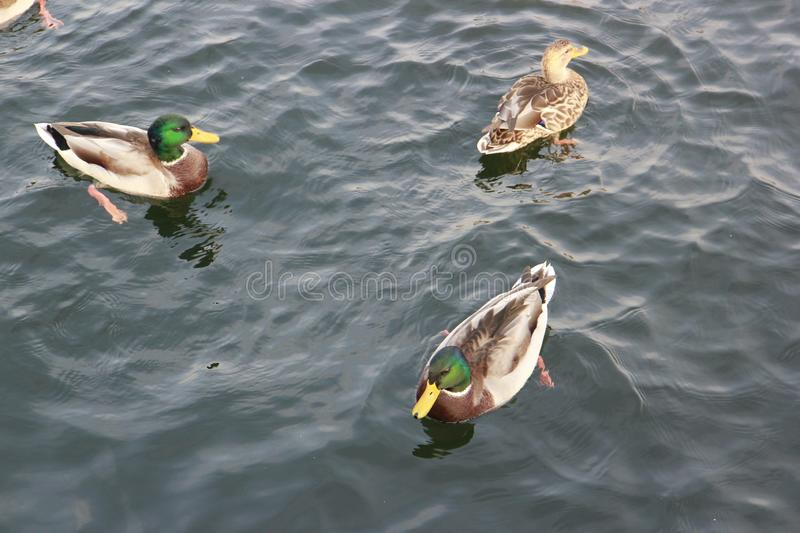 Ducks swimming in the water stock photography