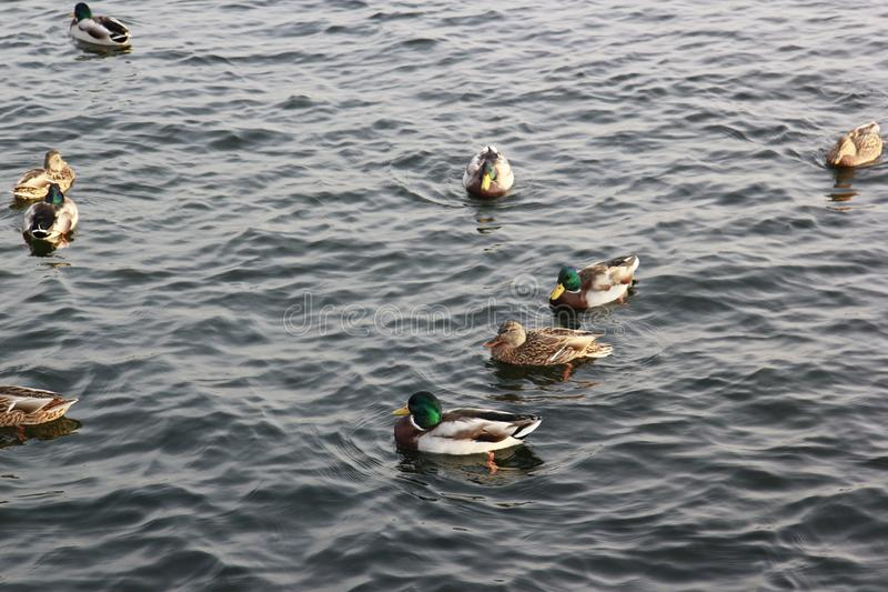 Ducks swimming in the water royalty free stock images
