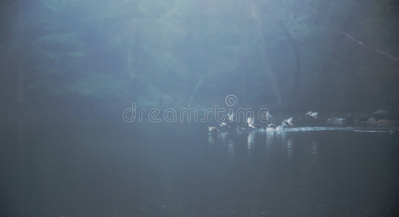 Ducks taking off from misty pond stock image