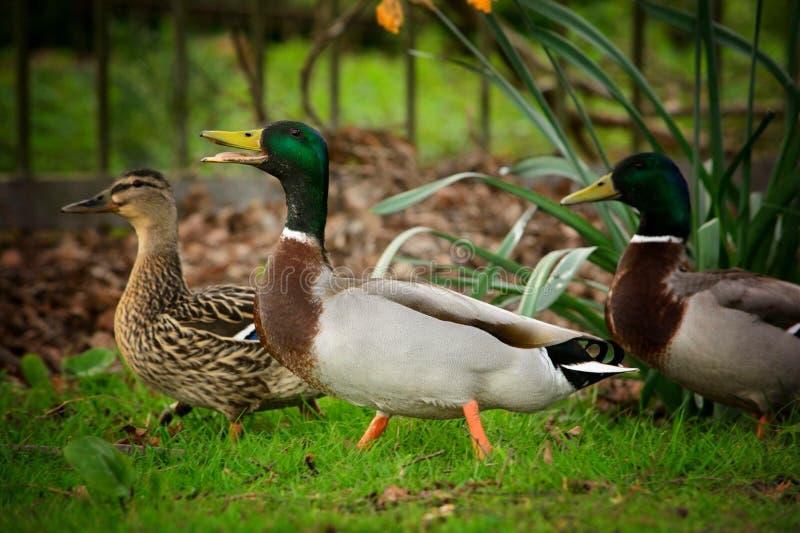 3 ducks together stock image