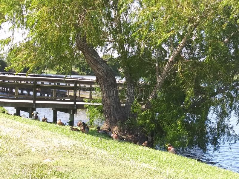 Ducks under the Shade Tree stock images