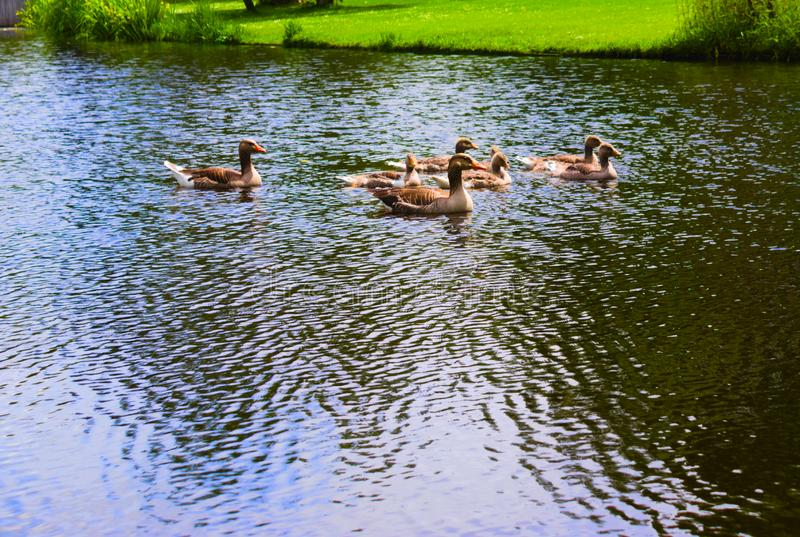 Ducks in the vondelpark swimming in the canal royalty free stock images