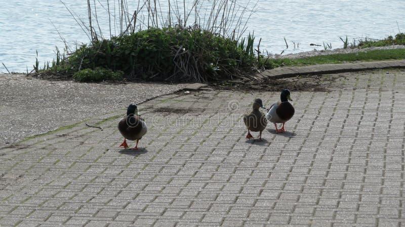 Ducks walking royalty free stock image