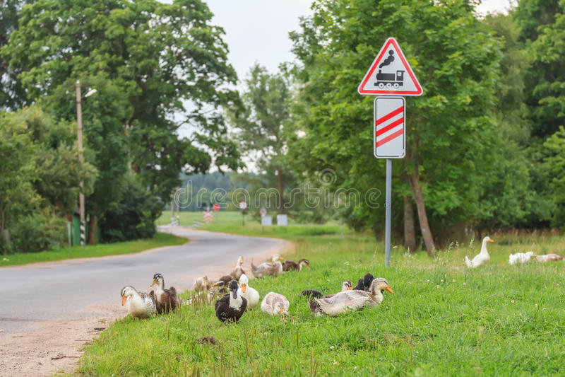 Ducks walking at railway crossing background stock image