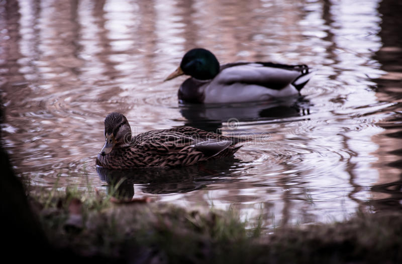 Ducks are watching you royalty free stock image
