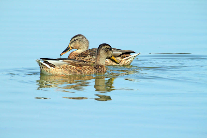 Ducks In Water Royalty Free Stock Photos