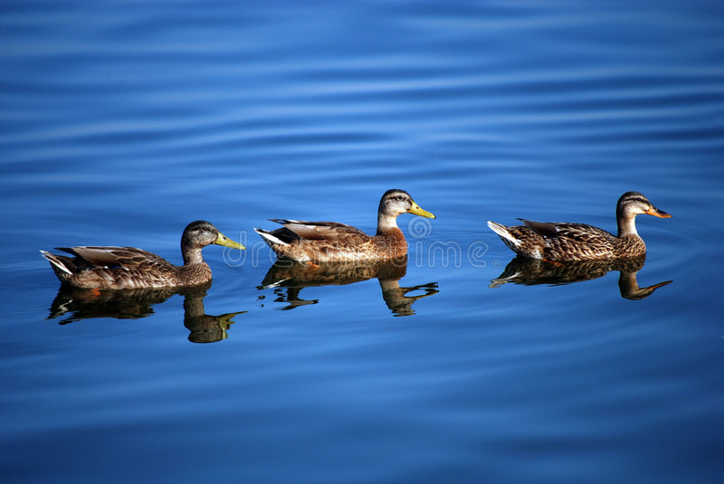 Download Ducks in the water stock photo. Image of group, color - 5981924