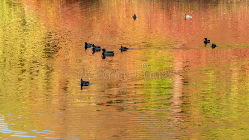 Ducks in the water with autumn reflections stock photo