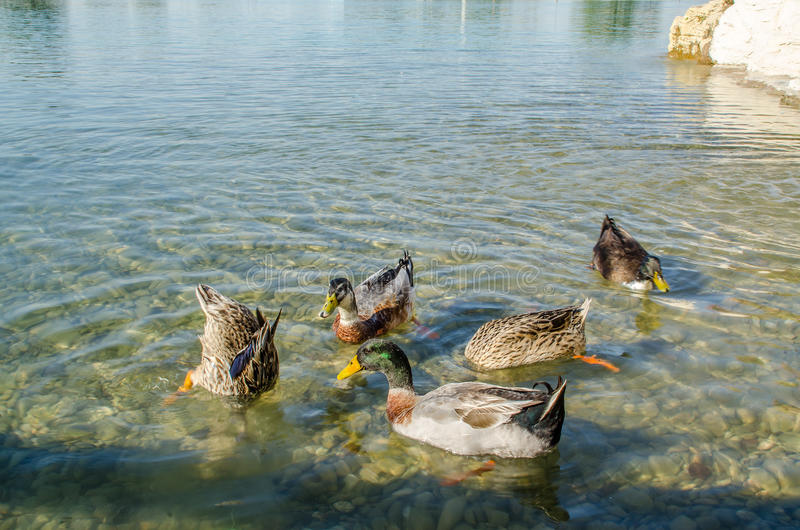 Ducks on Water, Bird, Duck, Bird on Water. Group of ducks floating on the water at Aspire Park, Doha, Qatar royalty free stock image