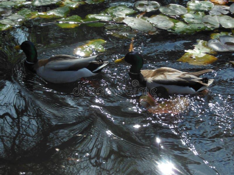 Ducks in Water stock photos