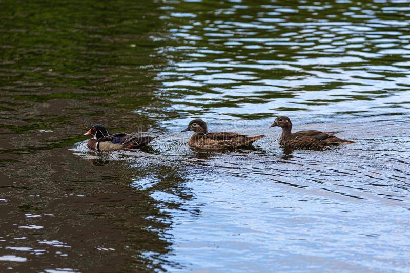 Ducks in water royalty free stock images